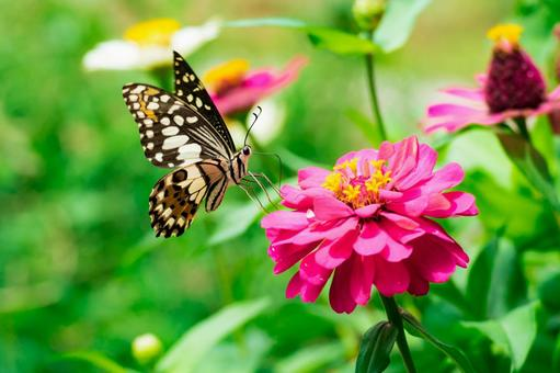 호랑 나비와 백일초