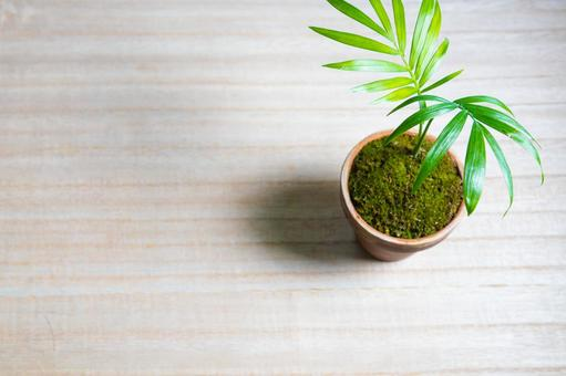 Table palm planted in a flowerpot