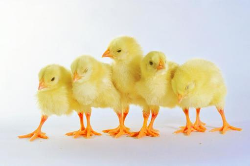 白回来小鸡6