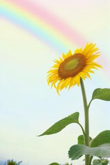 Large sunflower and rainbow
