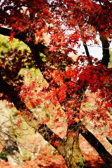Autumn leaves in Kyoto Red maple wallpaper