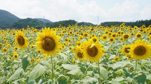 Sunflower field wide
