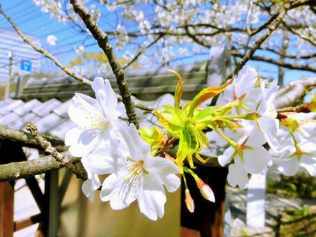 Cherry blossoms at Maizuru Park