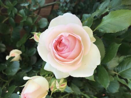 밝은 핑크 장미 04