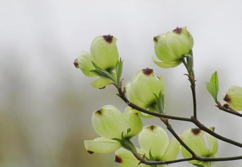我心愛的玉蘭木蘭