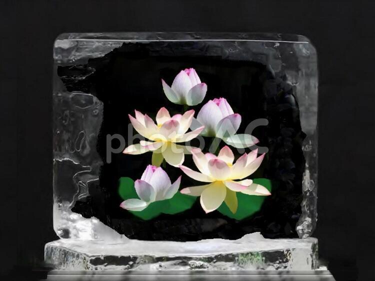 氷中花(蓮の花)の写真