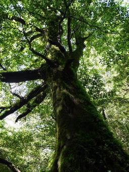 야쿠시마 숲 7