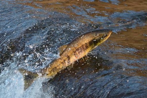 Salmon run-up