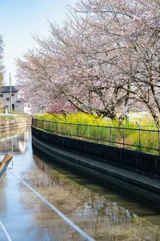 見沼 수로의 봄