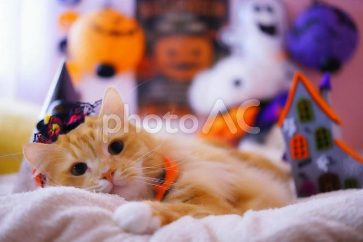 魔女の帽子を被って寝そべるハロウィン日のの猫の写真