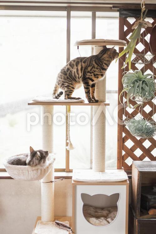 キャットタワーとベンガル猫_ハンモックに子猫の写真