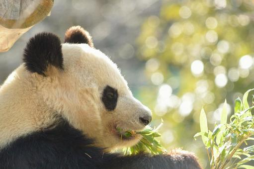 Giant panda with profile 13