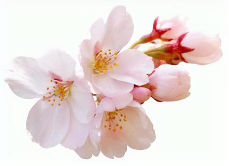 Cherry blossoms with clipping pass for chrysanthemum 9