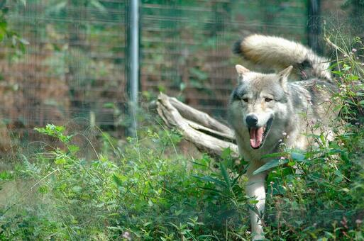 Shinlin Wolf