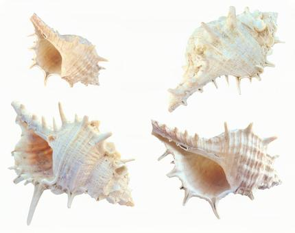 Clipping material Conch shell set