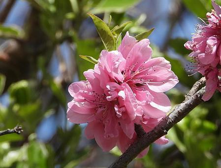 Peach flower (Hanamomo)