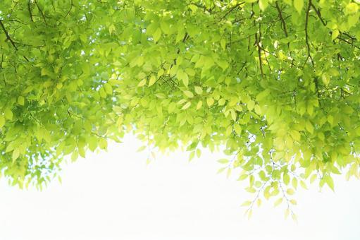 Fresh green zelkova