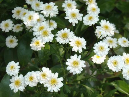 Summer chrysanthemum 1