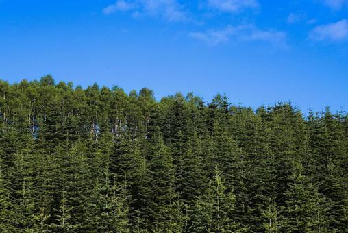 소나무 숲과 푸른 하늘