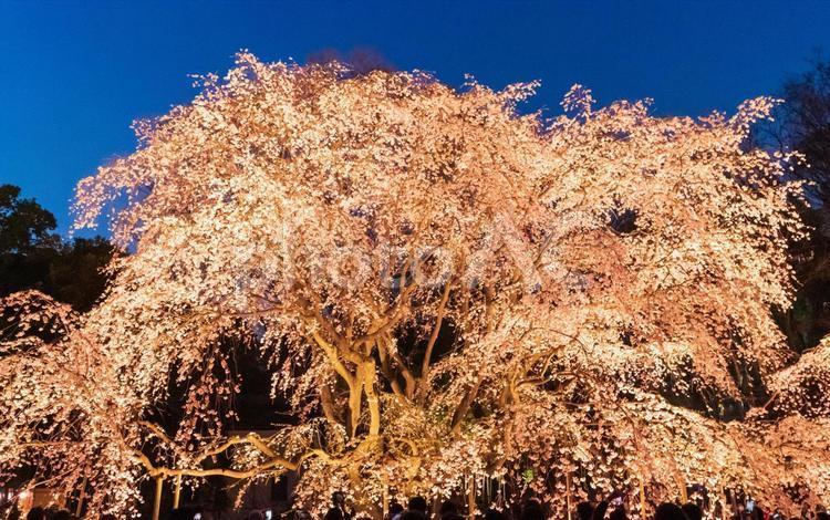 六義園の夜桜ライトアップの写真