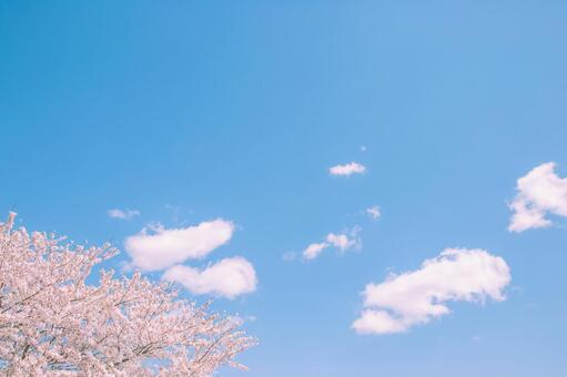 만개 한 벚꽃과 푸른 하늘
