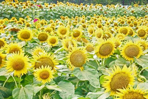 Sunflower (2015) # 129