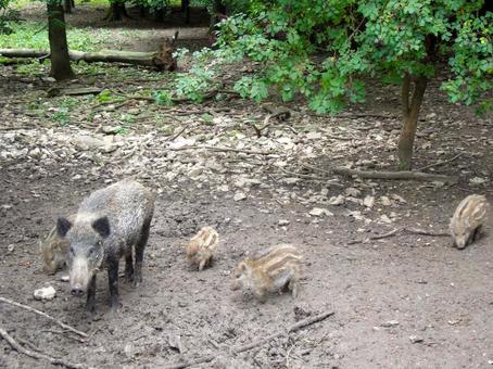 家長和孩子的野豬