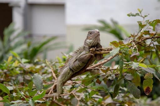 Taipei Zoo-Iguana