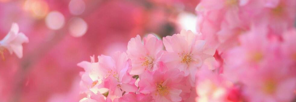 Beautiful weeping cherry blossoms, background of ball bokeh, cherry blossoms