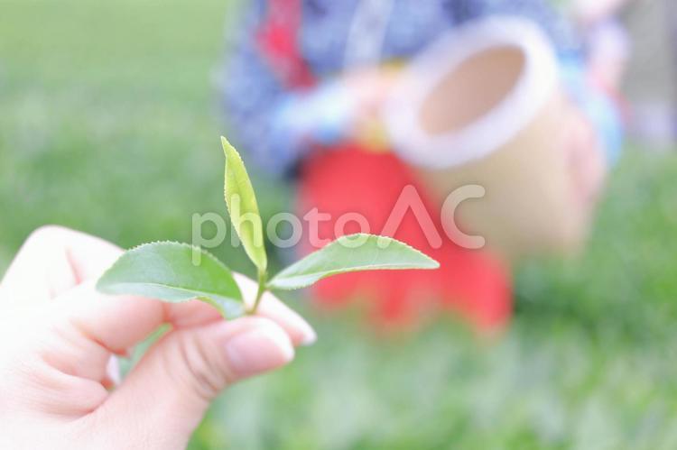 茶摘み体験の写真