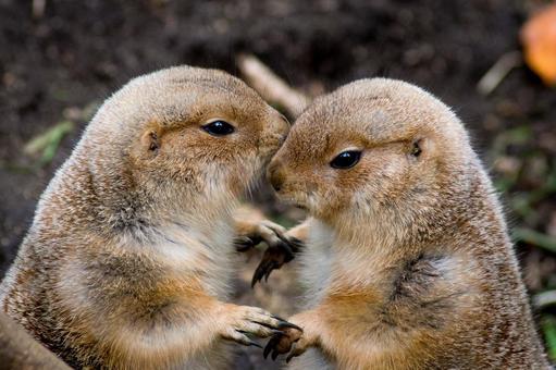 Lovers (prairie dogs)