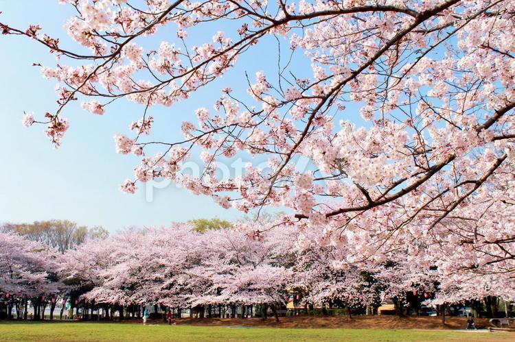 公園の桜の写真