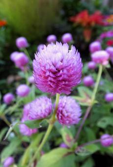 センニチコウ [Globe amaranth]-014
