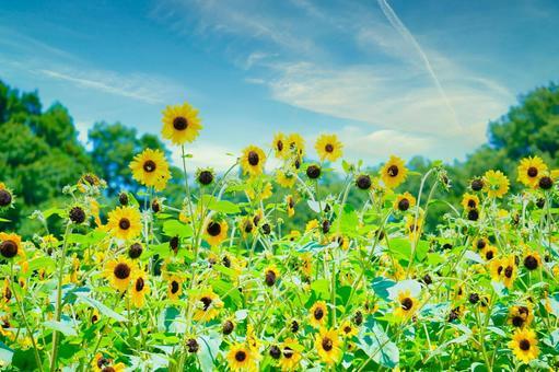 Sunflower field in the blue sky