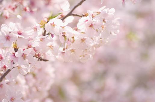 Yoshino cherry tree 57