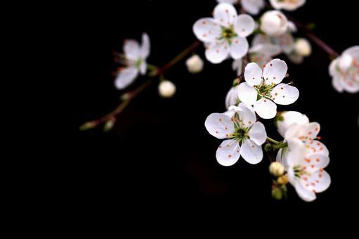 사쿠라 (벚꽃) 검은 배경