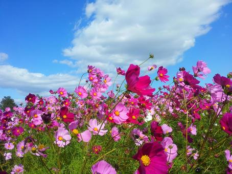 Autumn sky and cosmos
