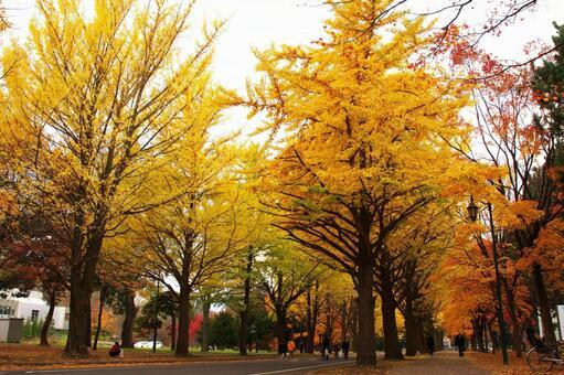 Yellow leaves of Hokkaido University and ginkgo bunches