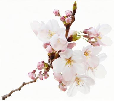 Sakura branch (PSD enters background transparent / cutout pass)