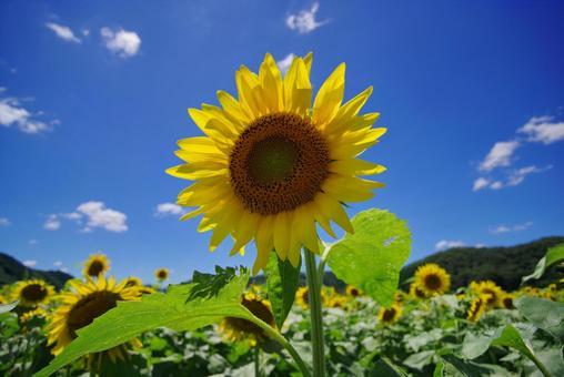 Sunflower Nanko Sunflower Field in Sayo Town, Hyogo Prefecture