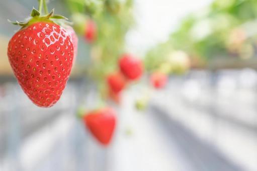 딸기 재배 딸기 농장 딸기 따기 이미지