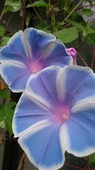Morning glory variegation