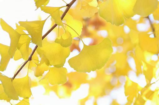 Ginkgo ginkgo yellow leaves
