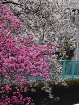 Sakura and Hanamomo