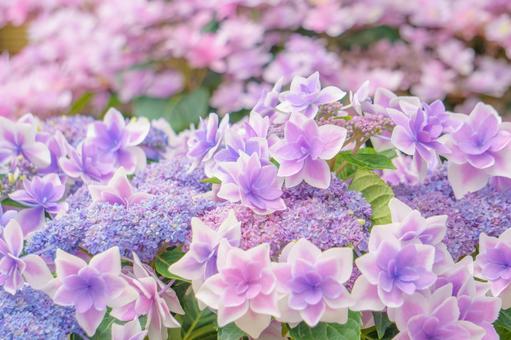 """繡球花""""Konpeito""""與可愛的花朵和名字"""