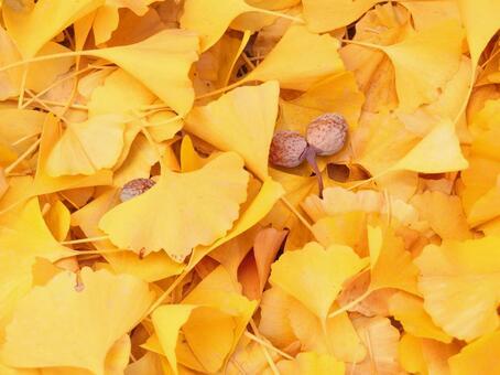 Ginkgo's fallen leaves