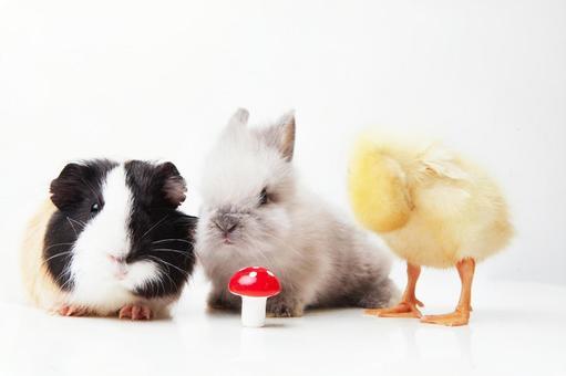 兔子和鸭子和豚鼠7