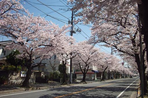 """Walking around Koganehara · Spring """"Sakura"""" # 17"""