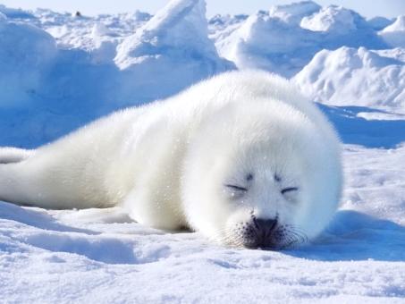 ブサかわいい顔で眠るタテゴトアザラシの赤ちゃん