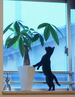 [Black cat] Houseplant (Pakira) and kitten